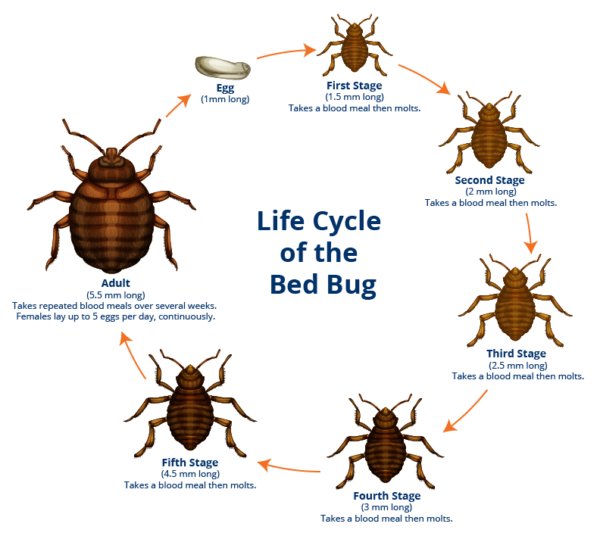Bedbug Life Cycle - My Bedbug Lawyer